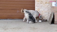 Two grey dogs sitting outside and eating dog food Stock Footage