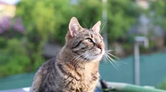 Amazing tabby cat close-up in summer sunset light Stock Footage