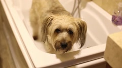 Adorable longhaired dog waiting to take a bath Stock Footage