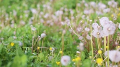 Woman hand through dandelion fuzz, summer background Stock Footage