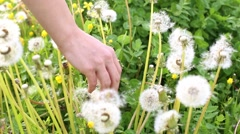 Woman hand with beautiful green color nail through dandelion fuzz Stock Footage