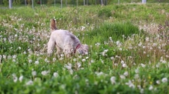 Adorable white longhaired dog in a dandelion field Stock Footage