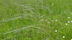 Stipa in the wind hd Stock Footage