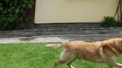 German shepherd dog running with a ball Stock Footage