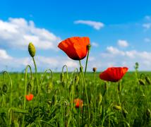 Red and green poppies on green field and blue sky with clouds Stock Photos