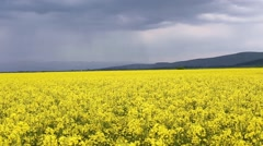 Summer rape field before the storm Stock Footage