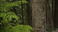 Wind between mountain forest fir trees Stock Footage
