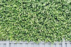 Green leaves of hedge fence - stock photo