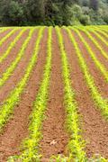 Farmer's Field Corn Oregon Agriculture Food Grower - stock photo
