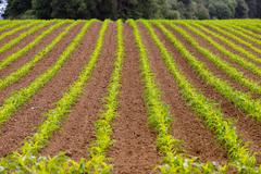 Farmer's Field Corn Oregon Agriculture Food Grower Stock Photos