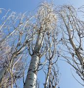 bare branches of a poplar against the blue sky - stock photo