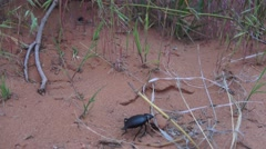 Large black beetle, Arches National Park Stock Footage