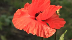 Red poppy flower in garden Stock Footage