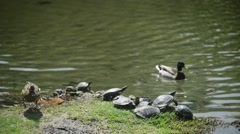 Milan, Italy - park Sempione - turtles bask in the sun Stock Footage