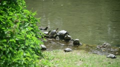 Milan, Italy - park Sempione - turtles bask in the sun - stock footage