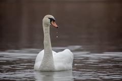 Stunning swan with drops of water from the beak Stock Photos