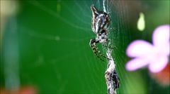 Spider on its web feeding on a fly Stock Footage