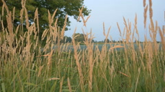 Gold spikelets near river Stock Footage