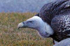 Portrait of a griffon vulture (Gyps fulvus) Stock Photos