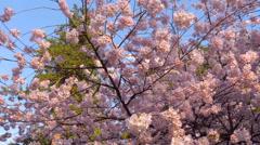 Japanise Sakura Blossom close-up Stock Footage