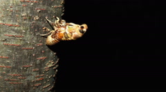 Pupa in the cocoon of a butterfly matures (time-lapse) Stock Footage
