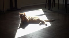 Orange tabby cat grooming himself on floor in bright sunny spot of apartment Stock Footage
