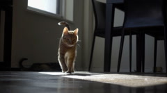 cute orange tabby cat walking toward camera with friend in background - stock footage