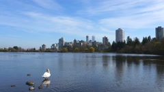 White Swan with ducks on the lake with amazing city view - stock footage