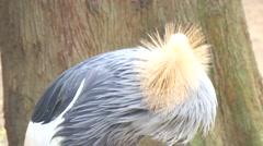 Balearica regulorum, Grey crowned crane (4K) Stock Footage