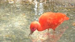 Eudocimus ruber, Scarlet ibis (4K) Stock Footage