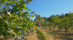 People pick up berries at farm Stock Footage
