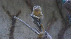 Callithrix pygmaea, Pygmy marmoset (4K) Stock Footage