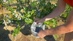 Man pick up blueberry at farm Stock Footage
