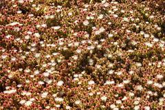 Wild flowers on the malibu beach Stock Photos