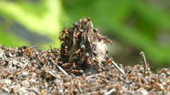 ants in an anthill life nature. sunny day. - stock footage