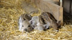Piglets in the barn on the farm. Stock Footage