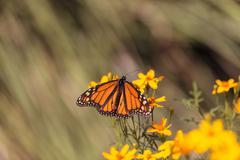 Monarch butterfly, Danaus plexippus Stock Photos
