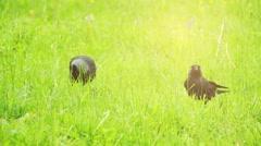 Western jackdaw (Corvus monedula) Stock Footage