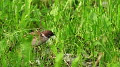 House sparrow (Passer domesticus) in grass Stock Footage