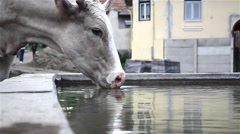 White Cow drinking water from a trough of concrete built beside a fountain in Stock Footage