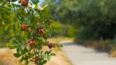 Branch with berries close-up in park with man walking blur background Stock Footage