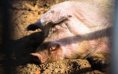 sleeping pig - stock photo
