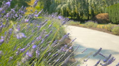 Purple flowers close-up in the park with blur background of walkway Stock Footage