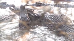 Crocodile close up with mouth wide open and lying in the sun - stock footage