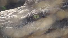 Siamese Crocodile eye Stock Footage