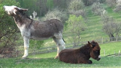 Donkeys with brown and gray fur sitting on the field and scratching the earth Stock Footage