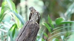 Bird Hodgson's Hawk Cuckoo(Hierococcyx nisicolor)in tropical forests of Thailand Stock Footage