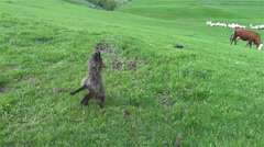 Sheep back dog that jumps to catch pieces of food on him throw his master Stock Footage