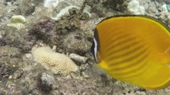 Yellow butterfly fish swimming underwater Stock Footage