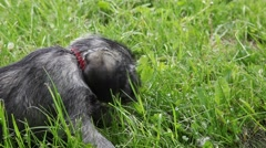 Schnauzer puppy playing in the summer park - stock footage